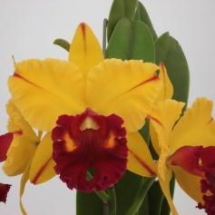 Blc. Tainan Gold 'Canary' (1)