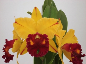 Blc. Tainan Gold 'Canary' (1)