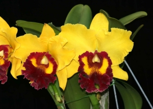 Blc. Williette Wong 'The Best' AMAOS