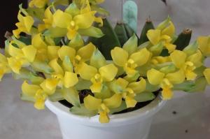 Lyc Spring Bouquet 'Tiny Bouquet'