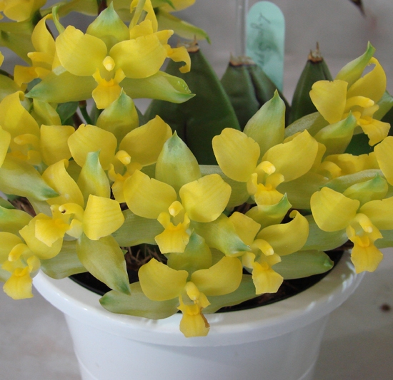 Lyc Spring Bouquet 'Tiny Bouquet'